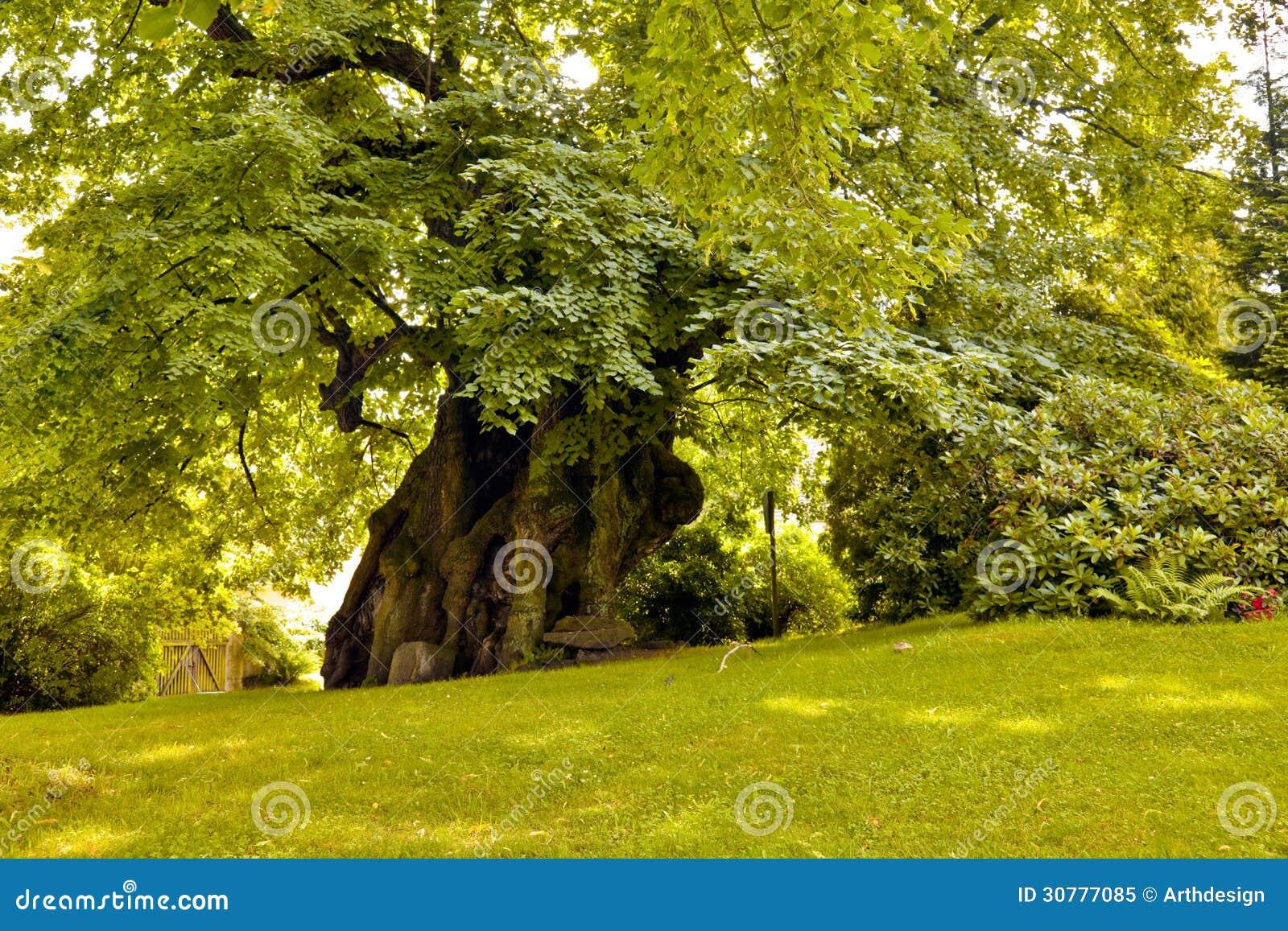 Тысяча старого лет дерева липы