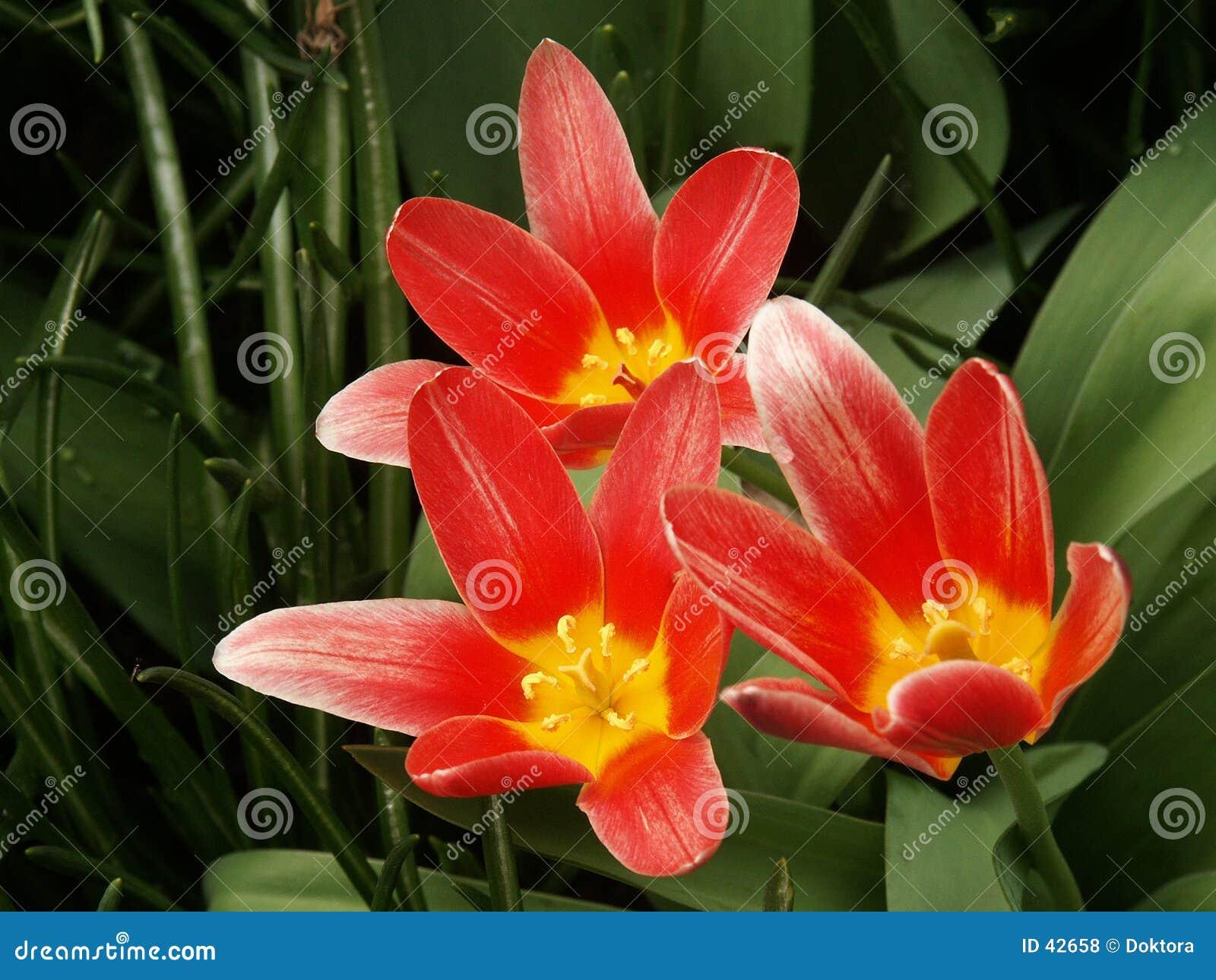 тюльпаны красного цвета цветеня