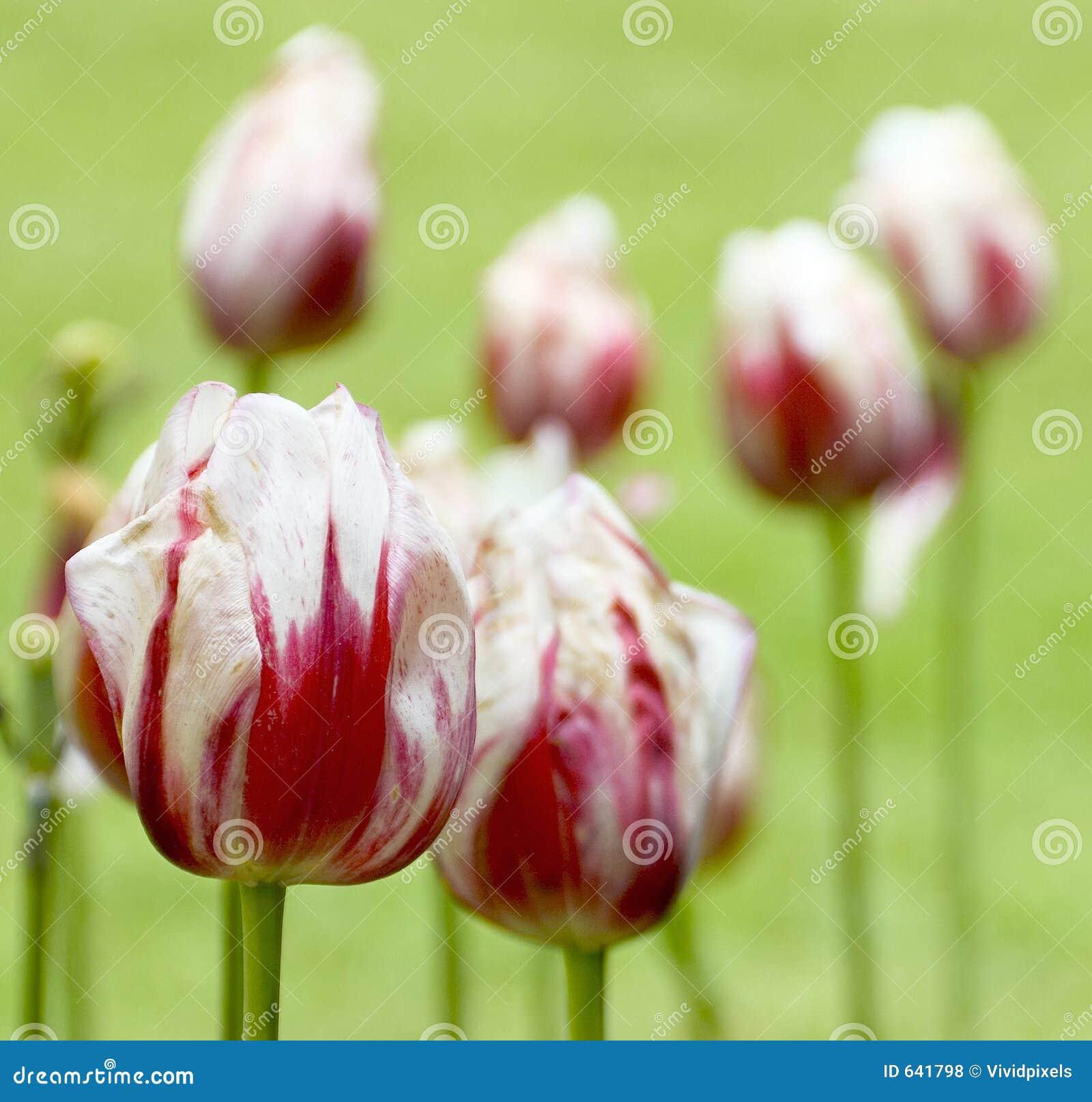 Download тюльпаны стоковое фото. изображение насчитывающей весна - 641798