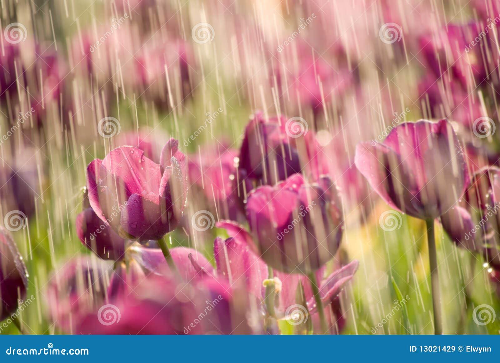 тюльпан дождя