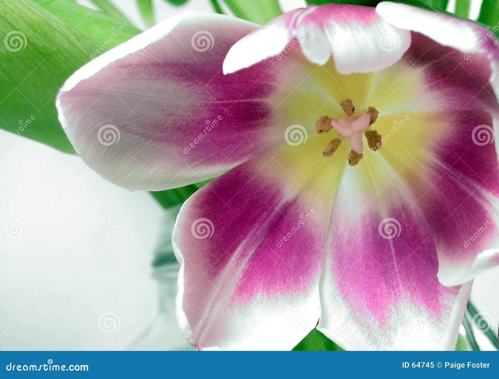 тюльпан макроса