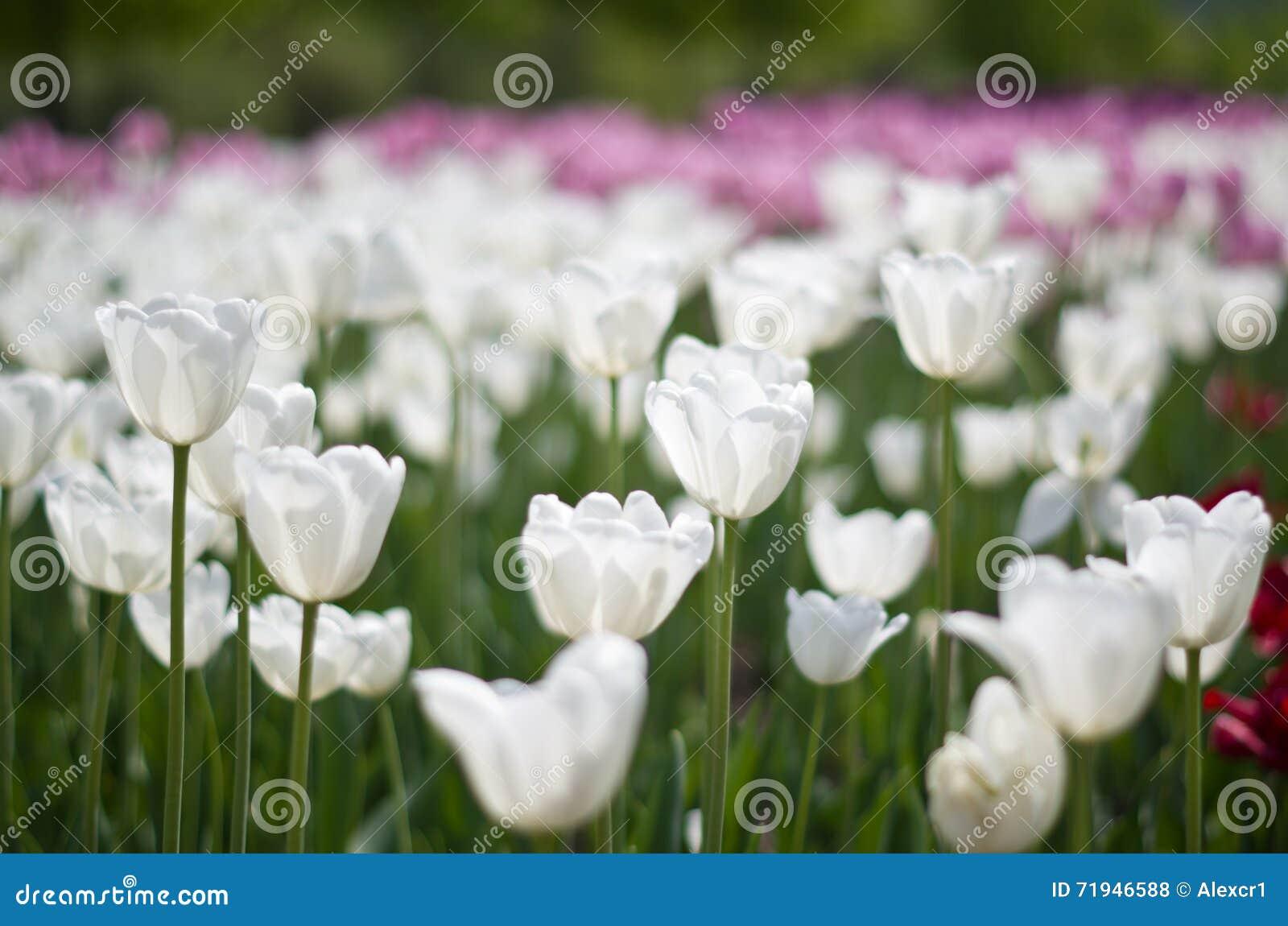 Тюльпаны на запачканной предпосылке