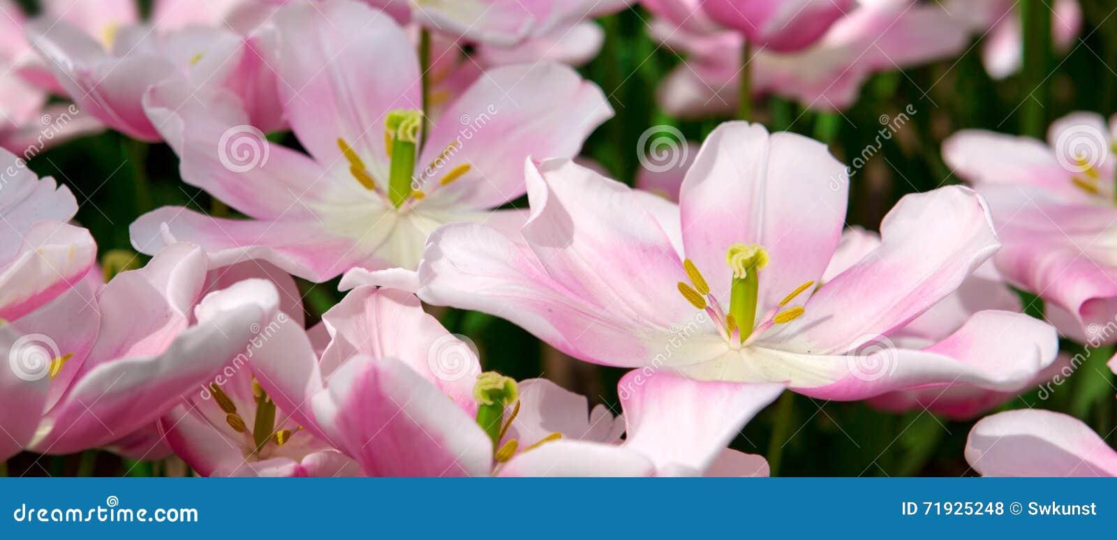 тюльпаны предпосылки розовые
