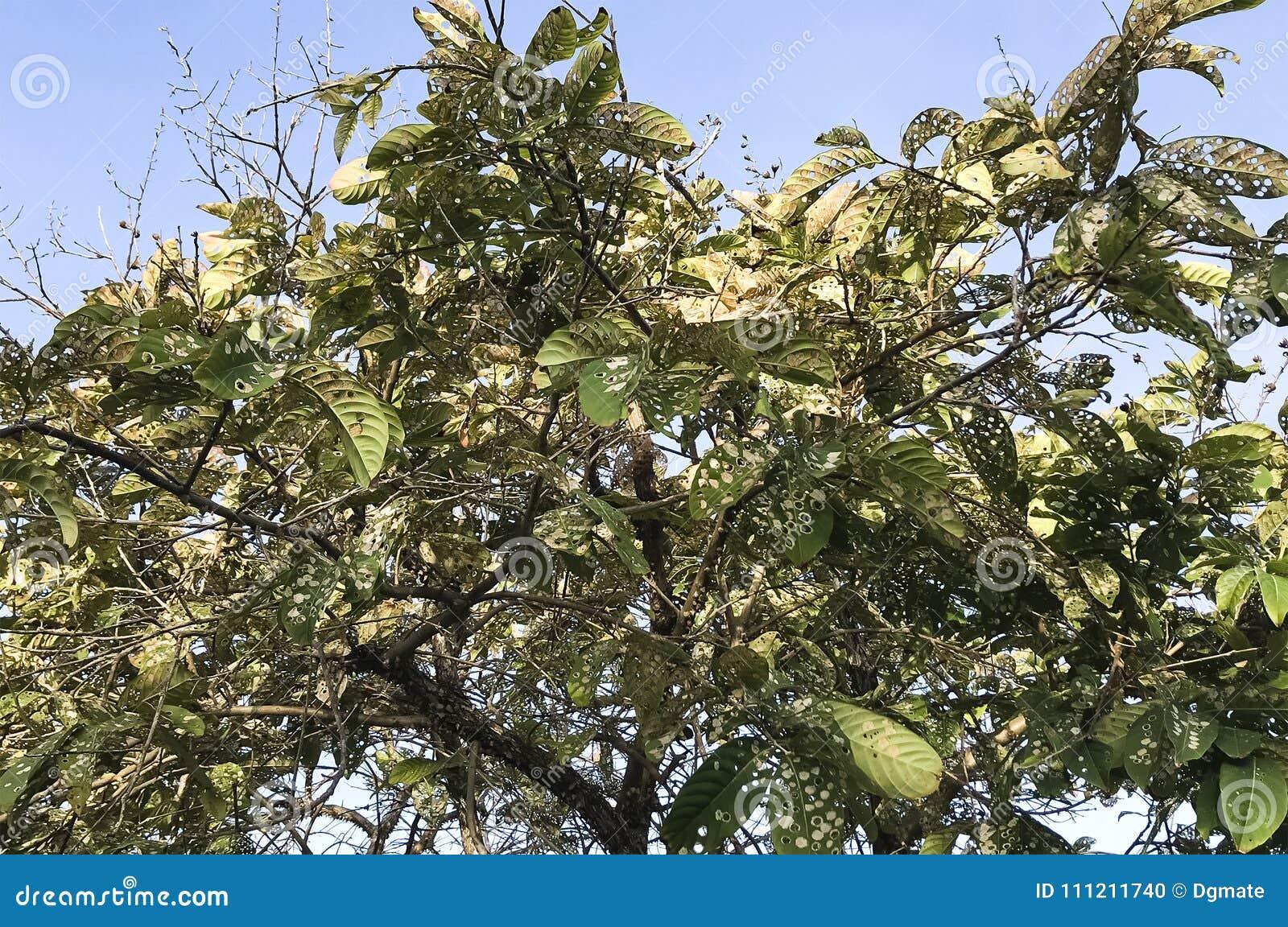 Тяжело infested дерево