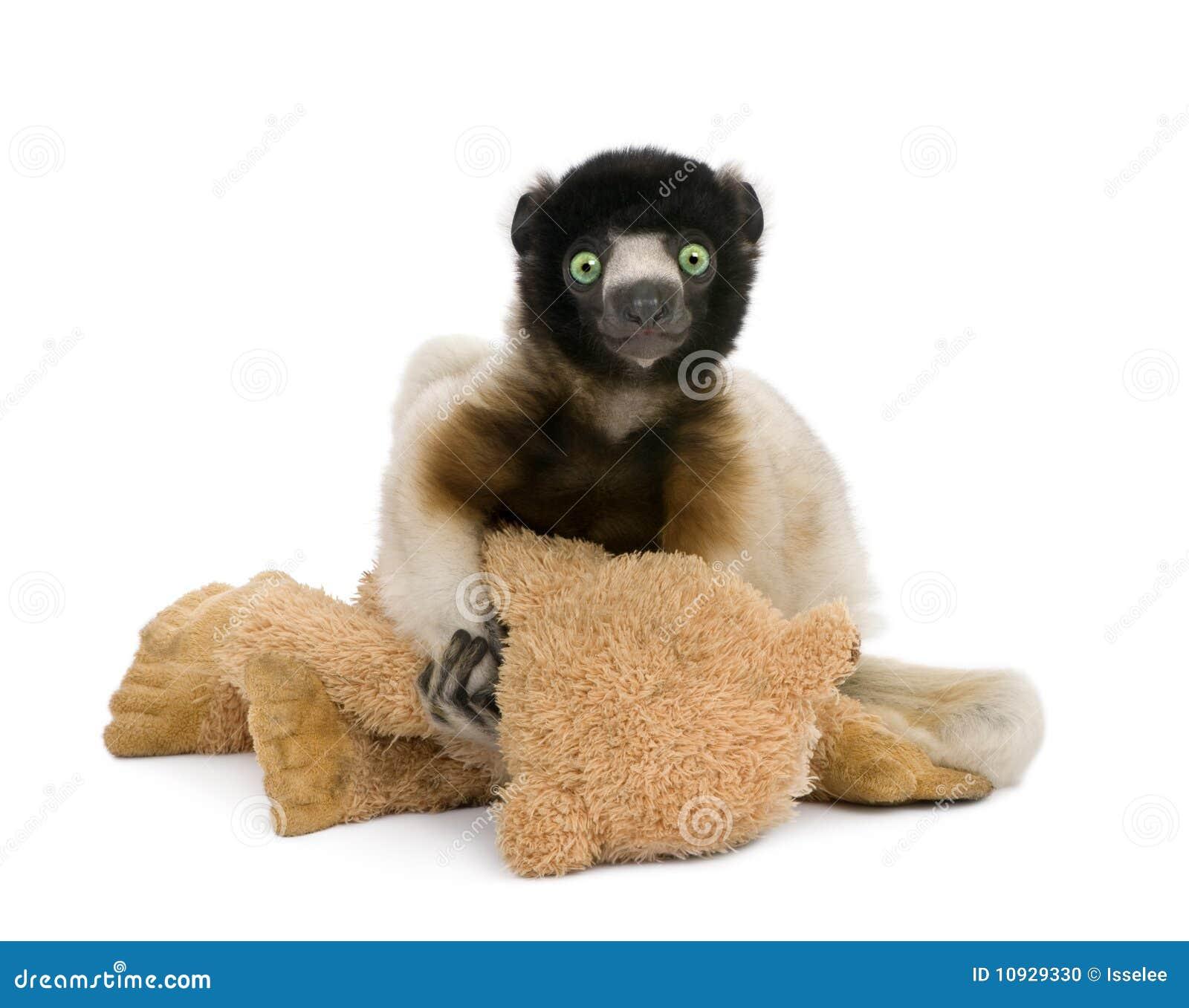 увенчанный медведь держащ игрушечный sifaka молодым