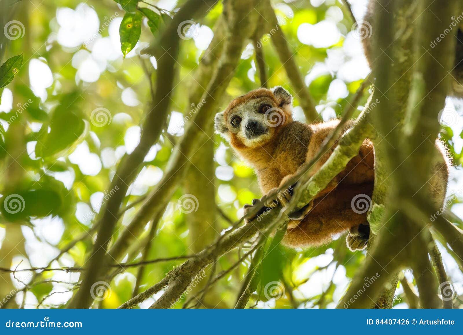 Увенчанный национальный парк Ankarana лемура, Мадагаскар