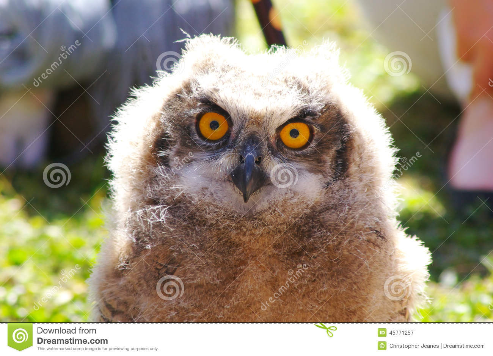 увиденное святилище prey сыча орла центра птицы ювенильное было