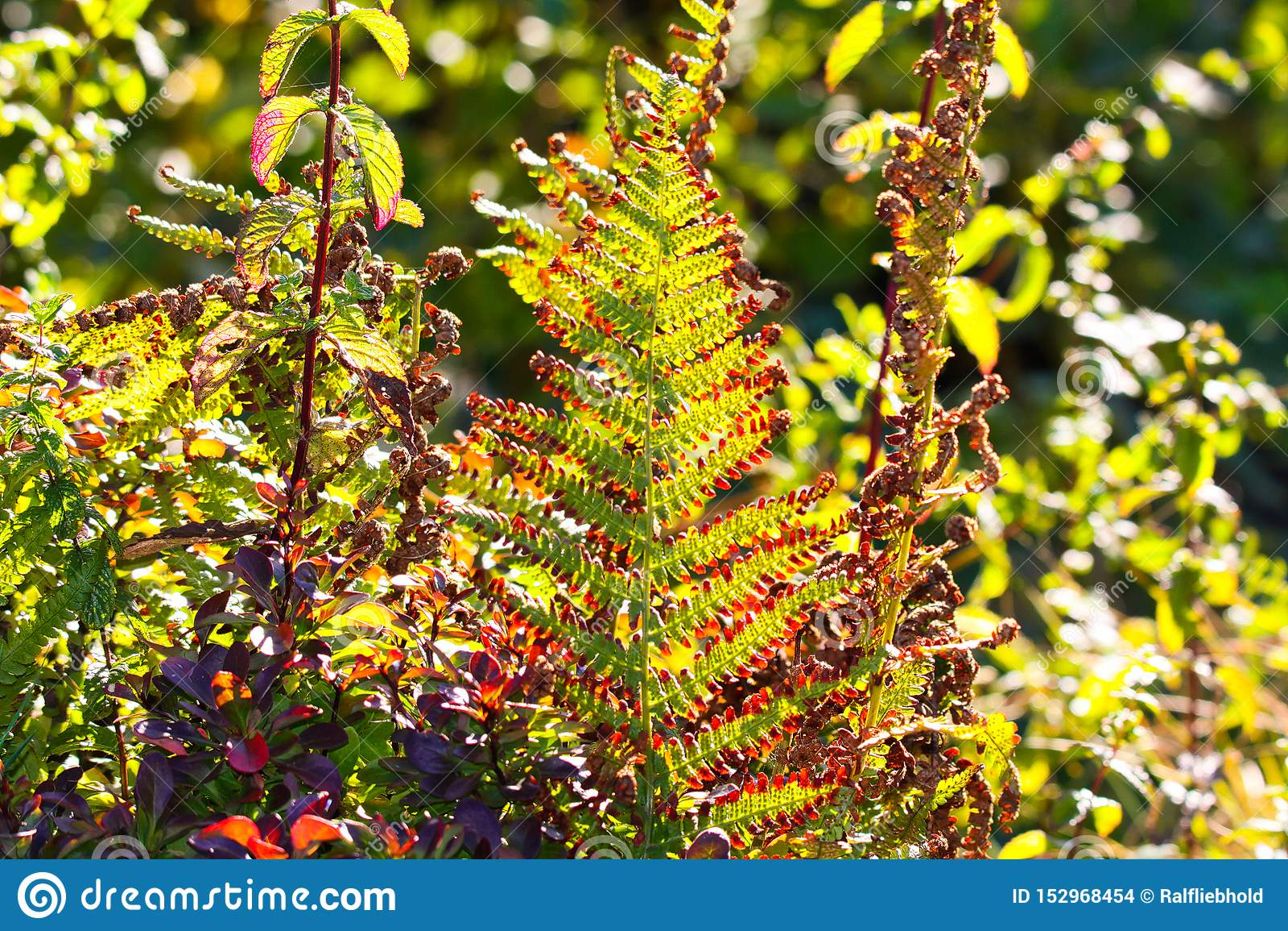 Увяданный зеленый и коричневый папоротник Adlerfarn папоротник-орляка, накалять Aquilinum Pteridium мерцающий в солнце осени - Vi