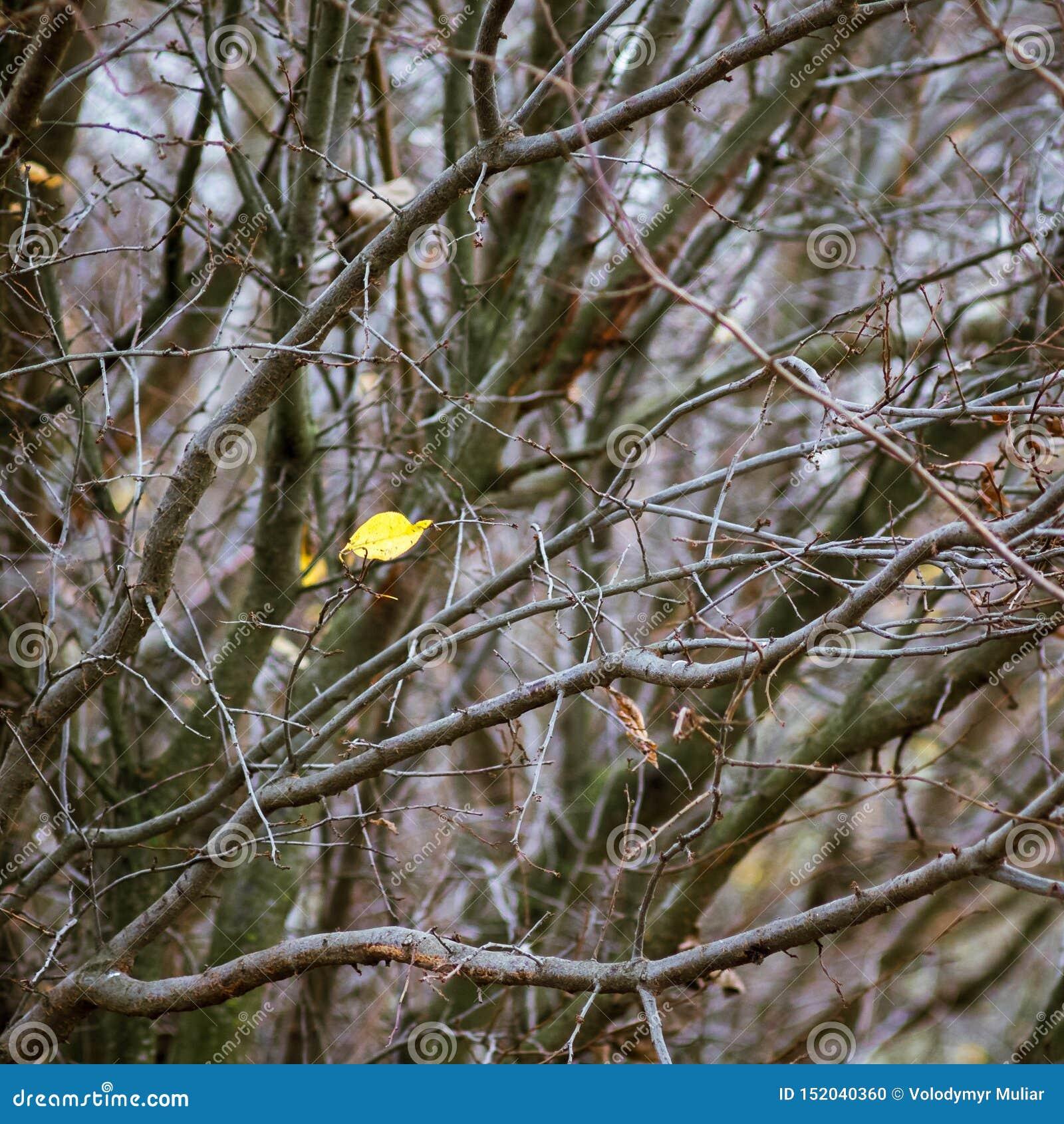 Уединенные желтые лист среди толстых ветвей в autumn_