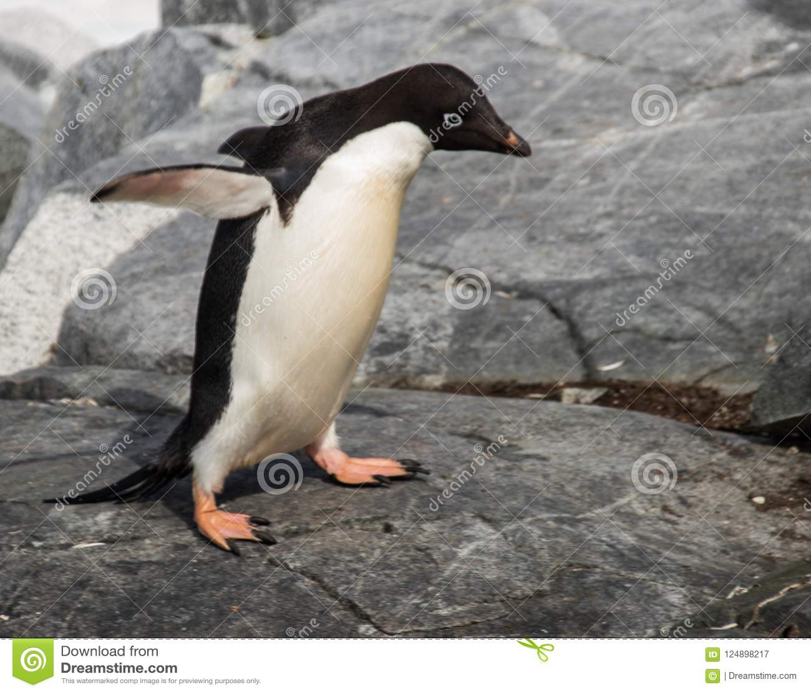 Уединённый пингвин Adele в Антарктике