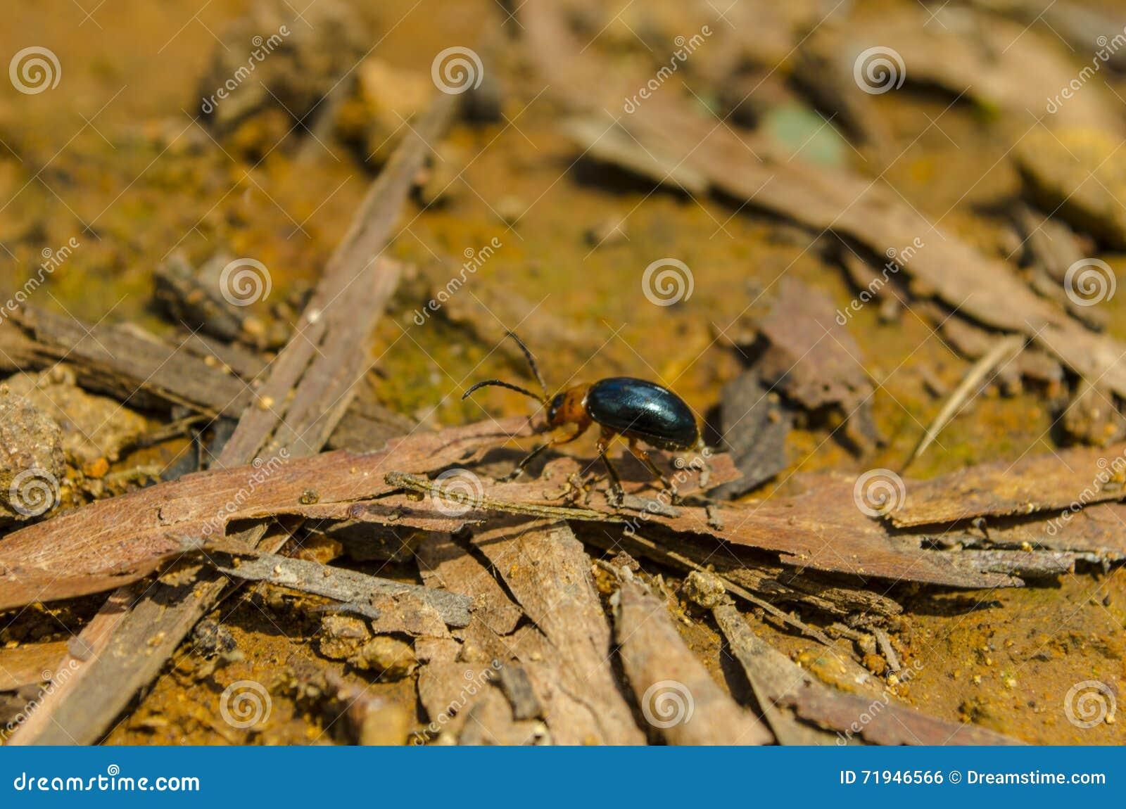 Уединённый сияющий жук делает его путь