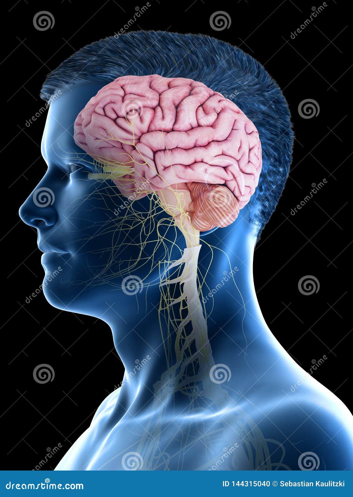 Укомплектовывает личным составом мозг