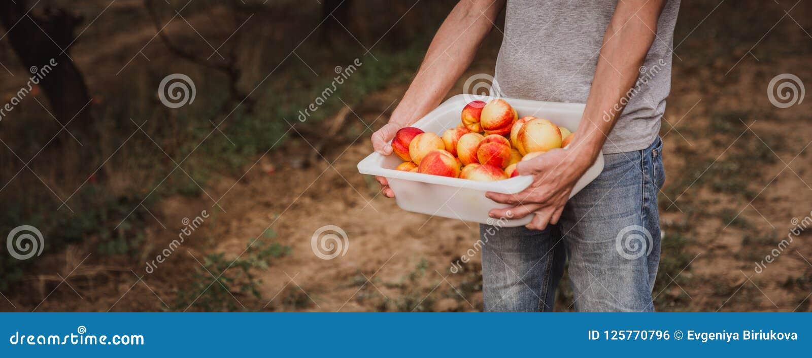 Укомплектуйте личным составом держать коробку полный нектаринов organik Ingathering