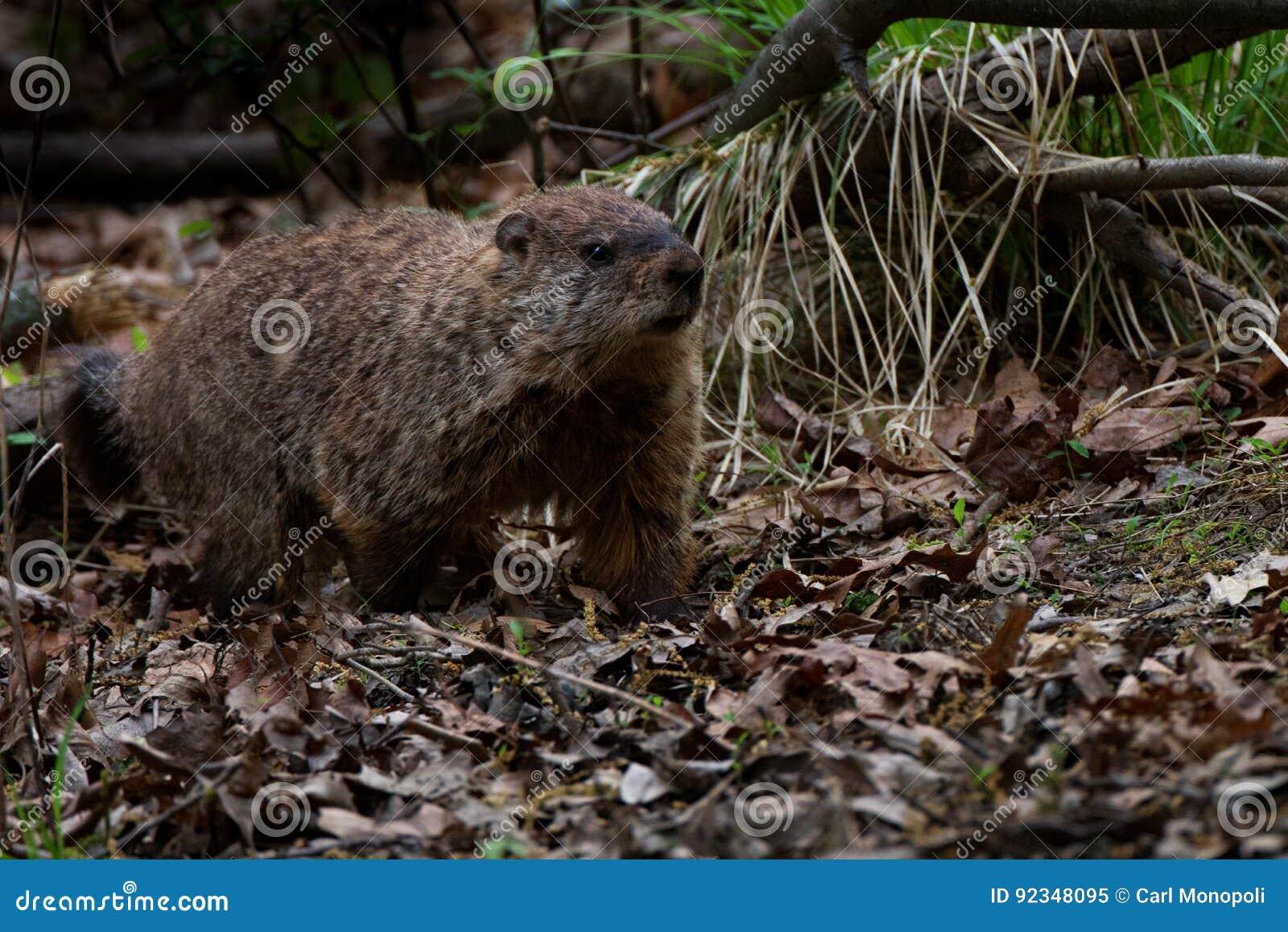 Уклон Groundhog густолиственный