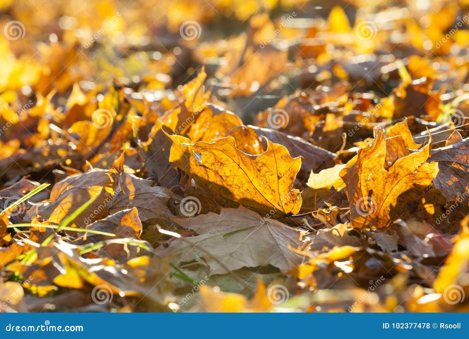 упаденный клен листьев