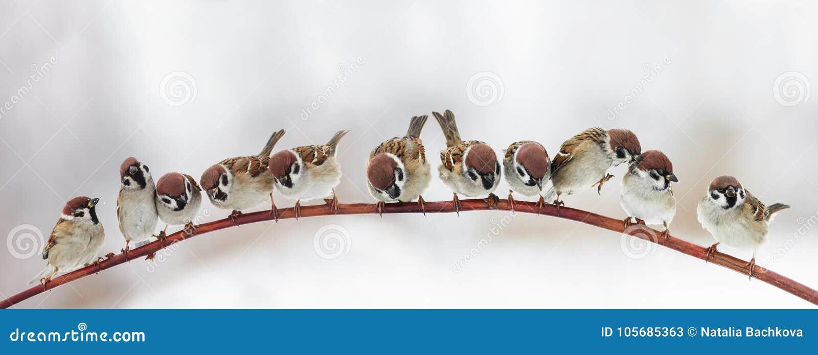 Упакуйте много смешных маленьких воробьев птиц сидя на ветви внутри