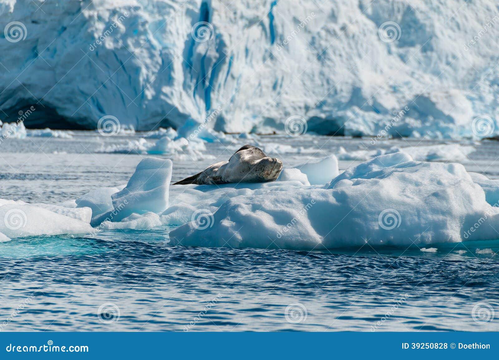 Уплотнение леопарда отдыхая на ледяном поле Антарктике