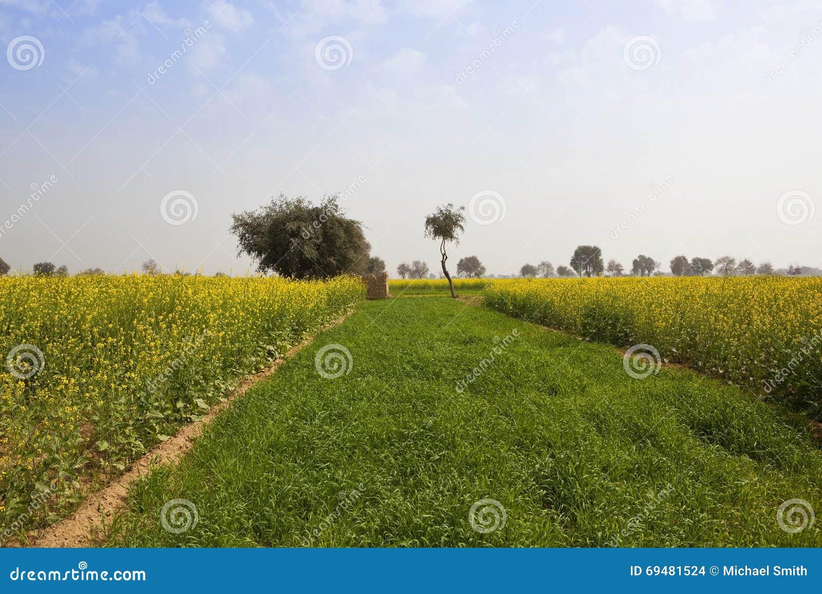 Урожаи мустарда в Раджастхане