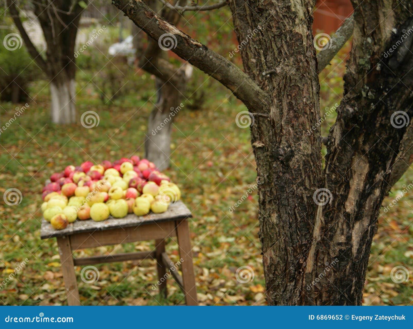 урожай яблока