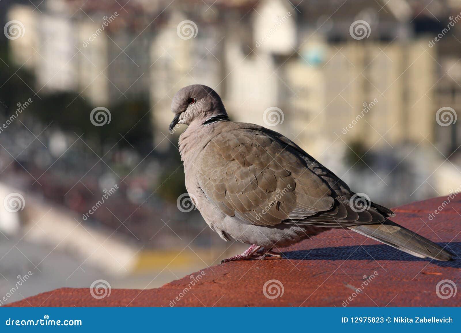 усаживание крыши dove