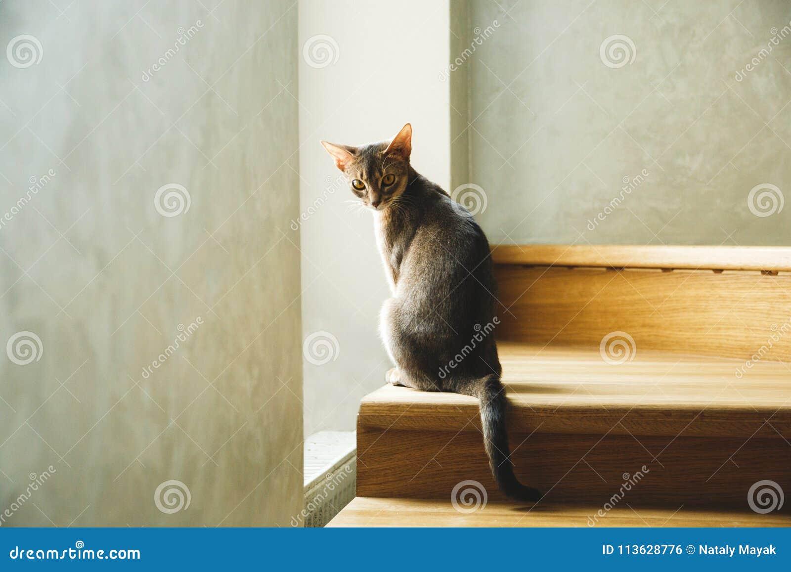 Усаживание породы кота абиссинское на лестницах около окна