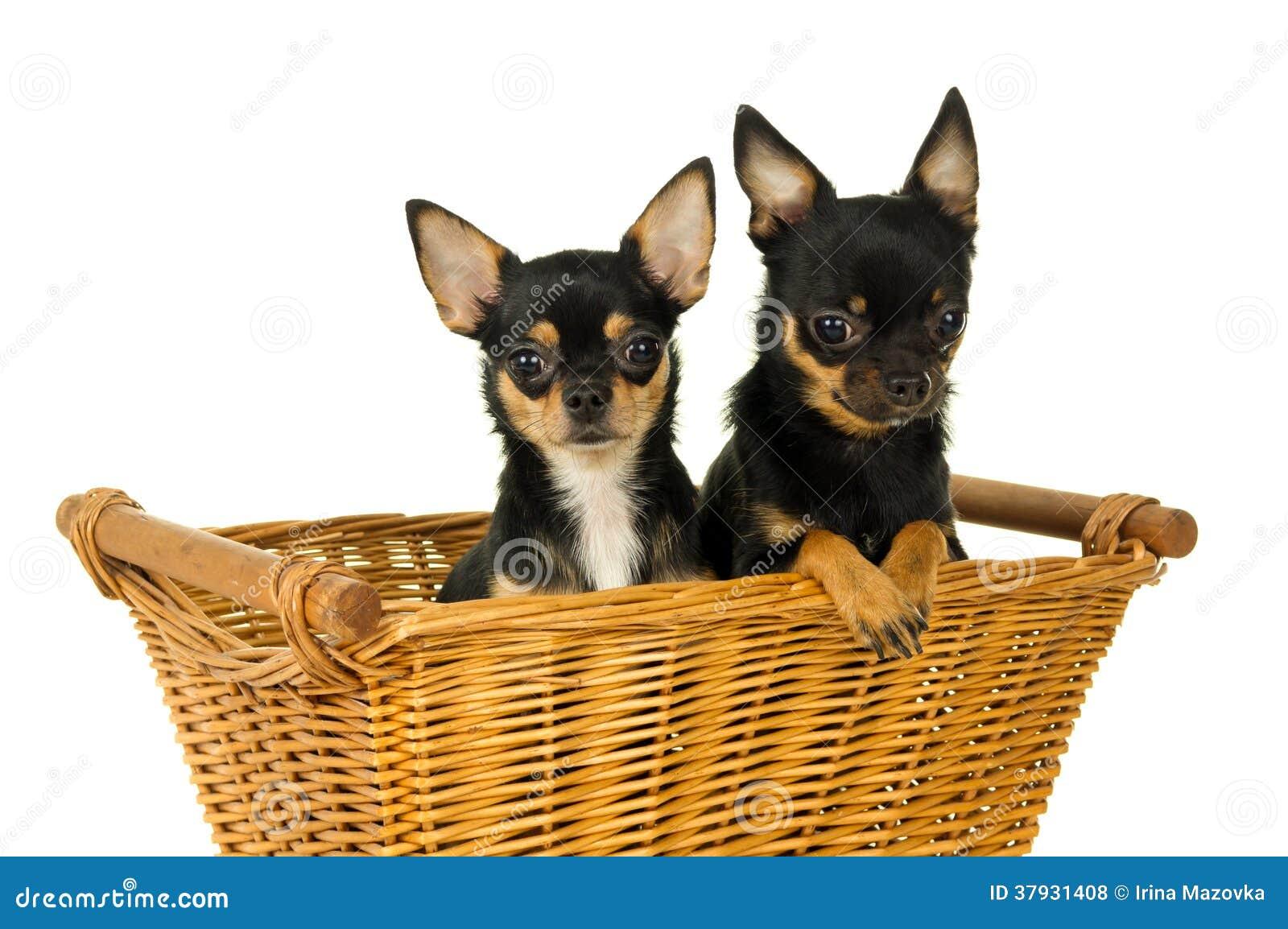 Усаживание собаки чихуахуа взрослого 2