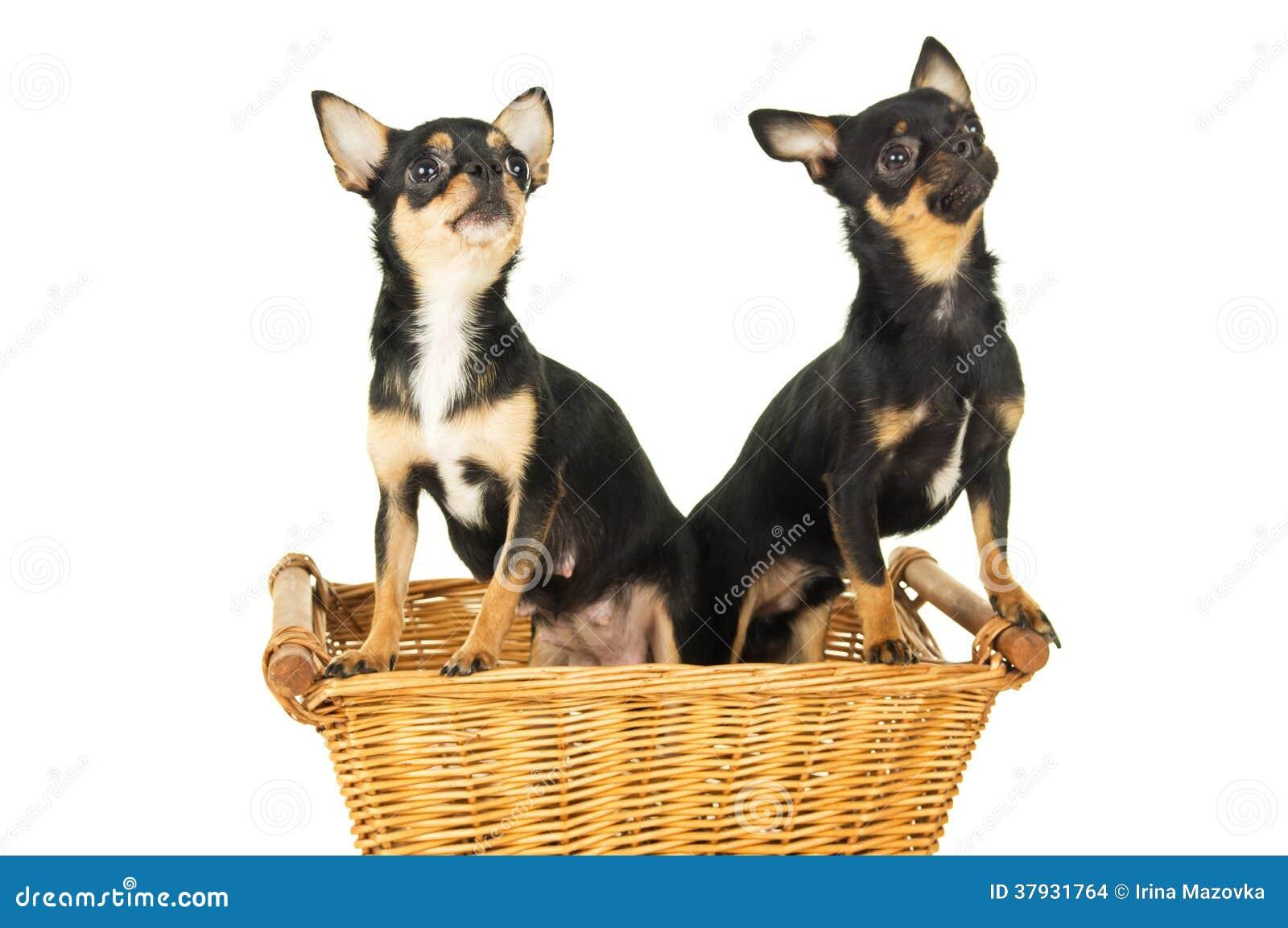 Усаживание собаки 2 чихуахуа