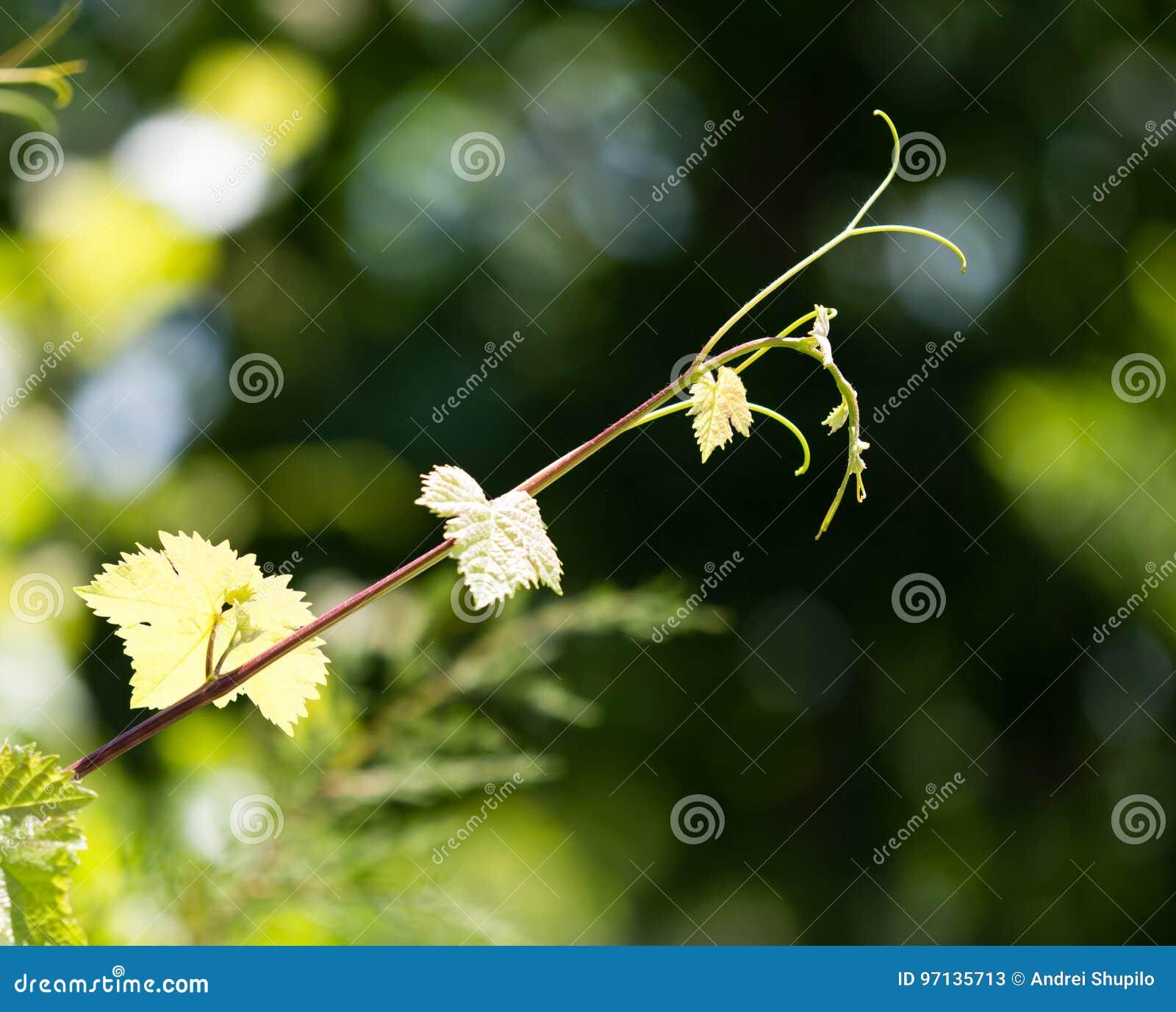 Усик виноградин с зелеными листьями