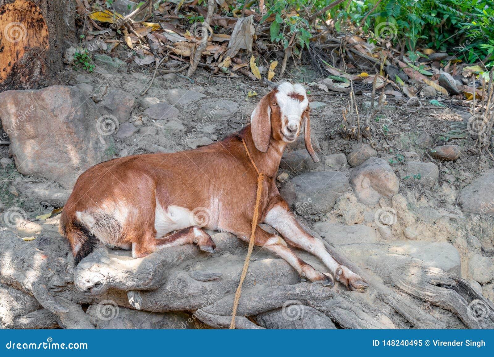 Установка козы в тени дерева в ярком солнечном дне