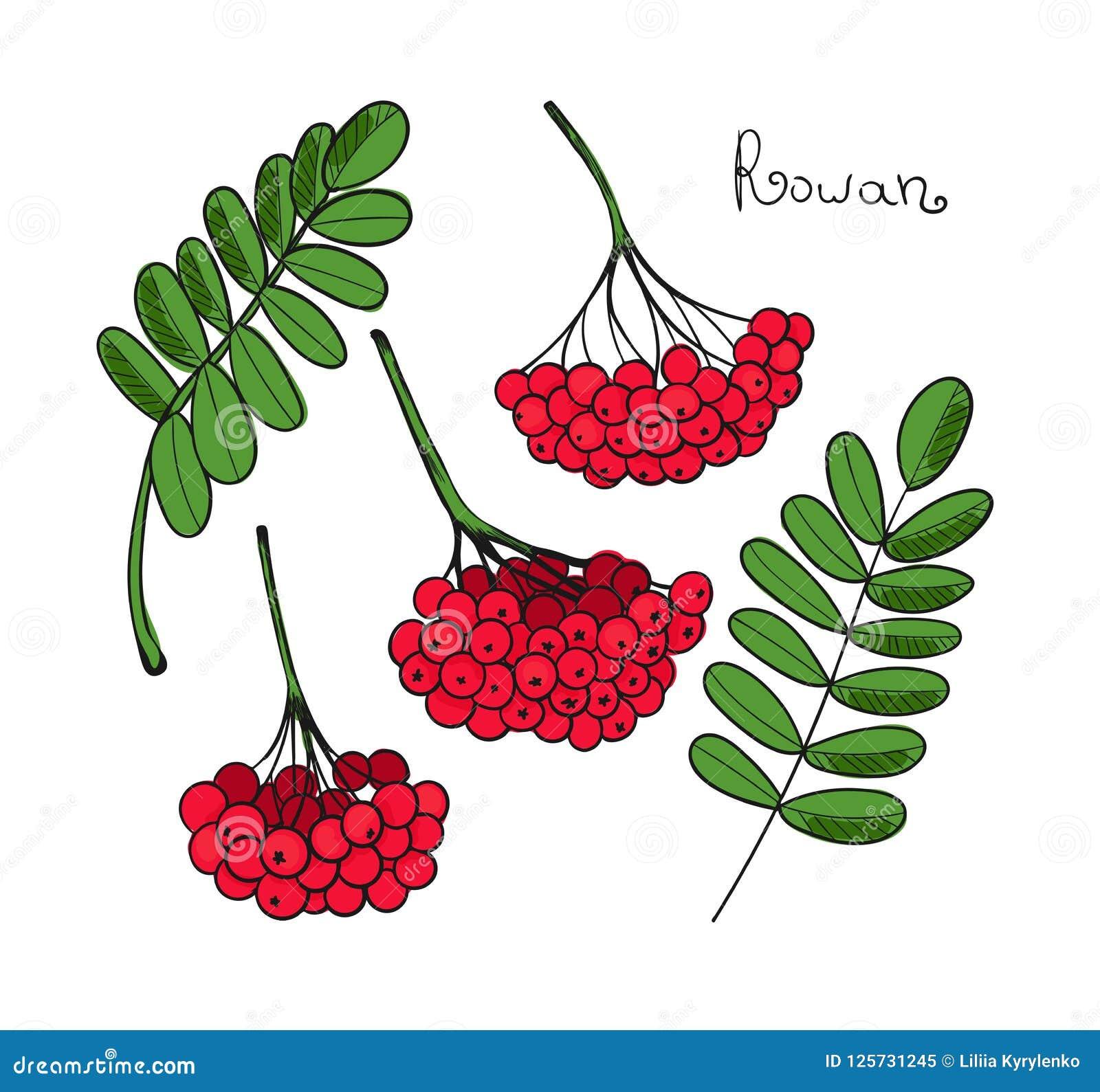Установленное красное дерево рябины Изолированные элементы Rowanberry или ashberry Листья и группа ягоды рябины Завтрак-обед сорб