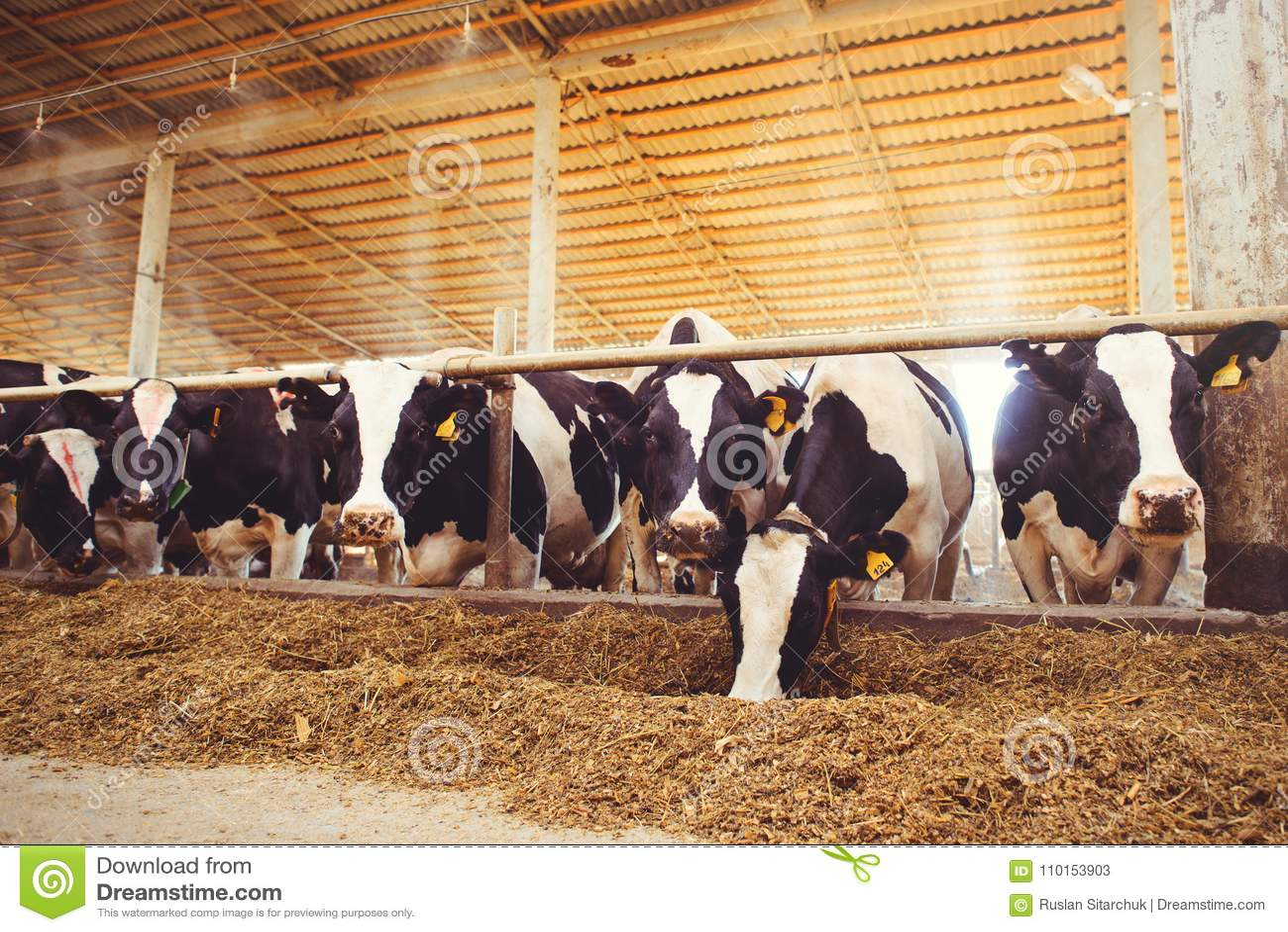 Устрашайте концепцию фермы земледелия, земледелие и поголовье - табун коров которые используют сено в амбаре на молочной ферме