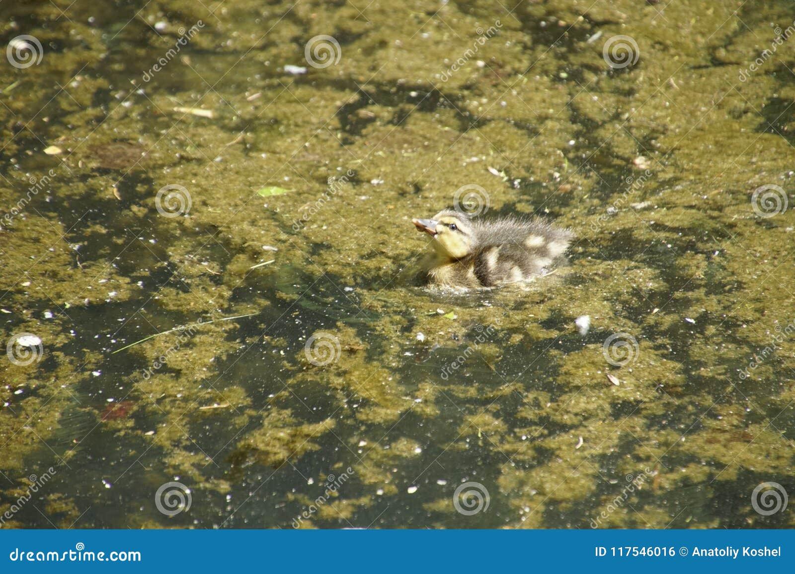 утенок смешной Заплывание первого раза в воде пруда
