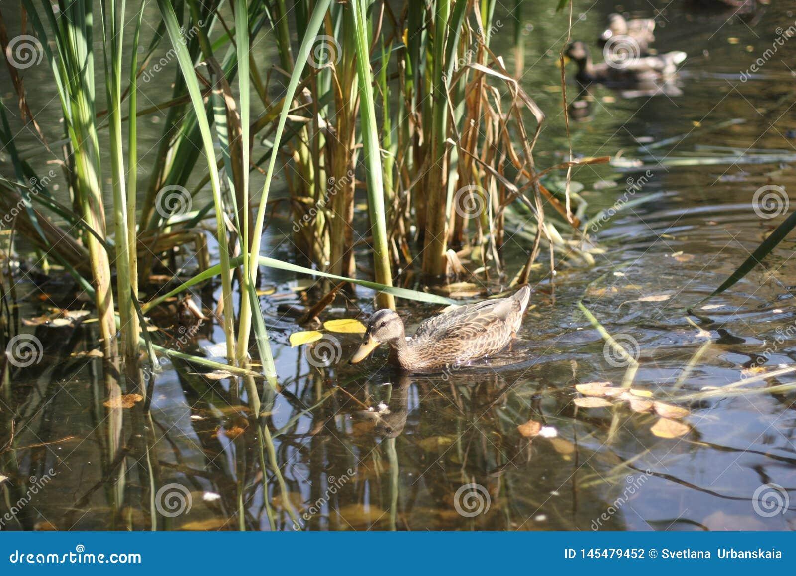 Утка в пруде и парке осени