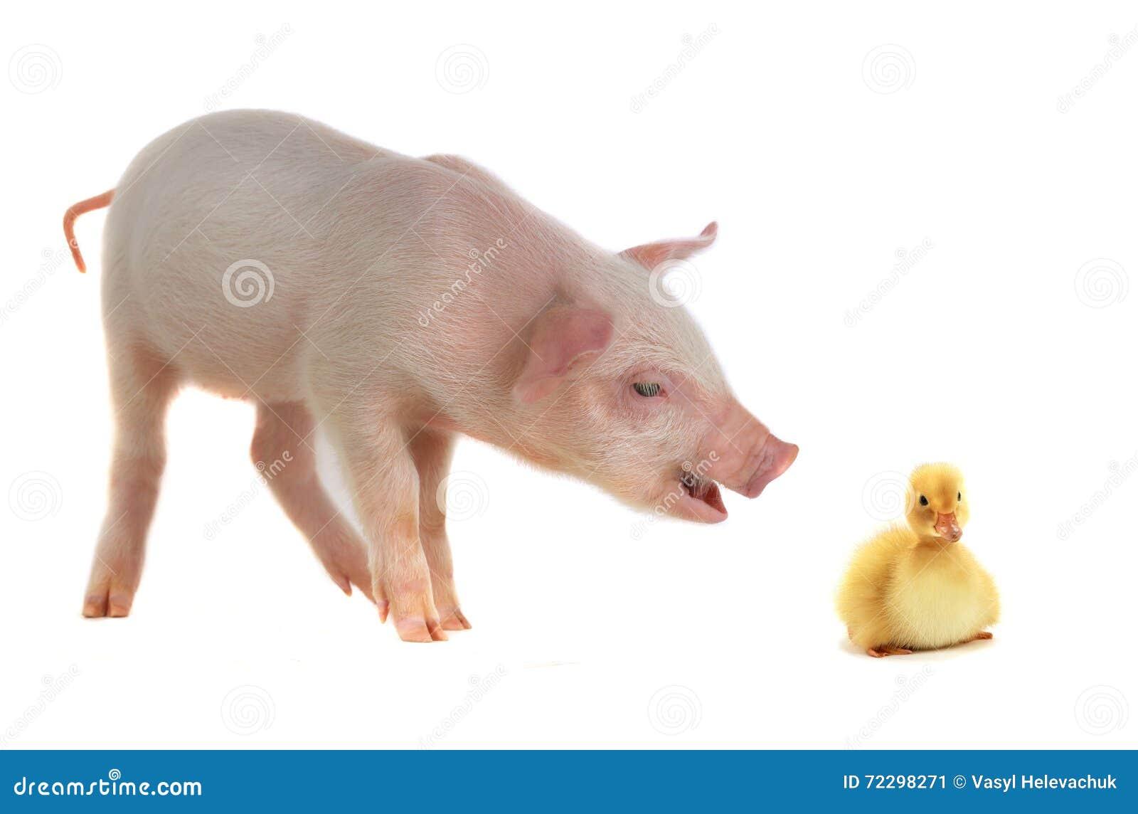 Download Утка и свинья стоковое изображение. изображение насчитывающей поголовье - 72298271