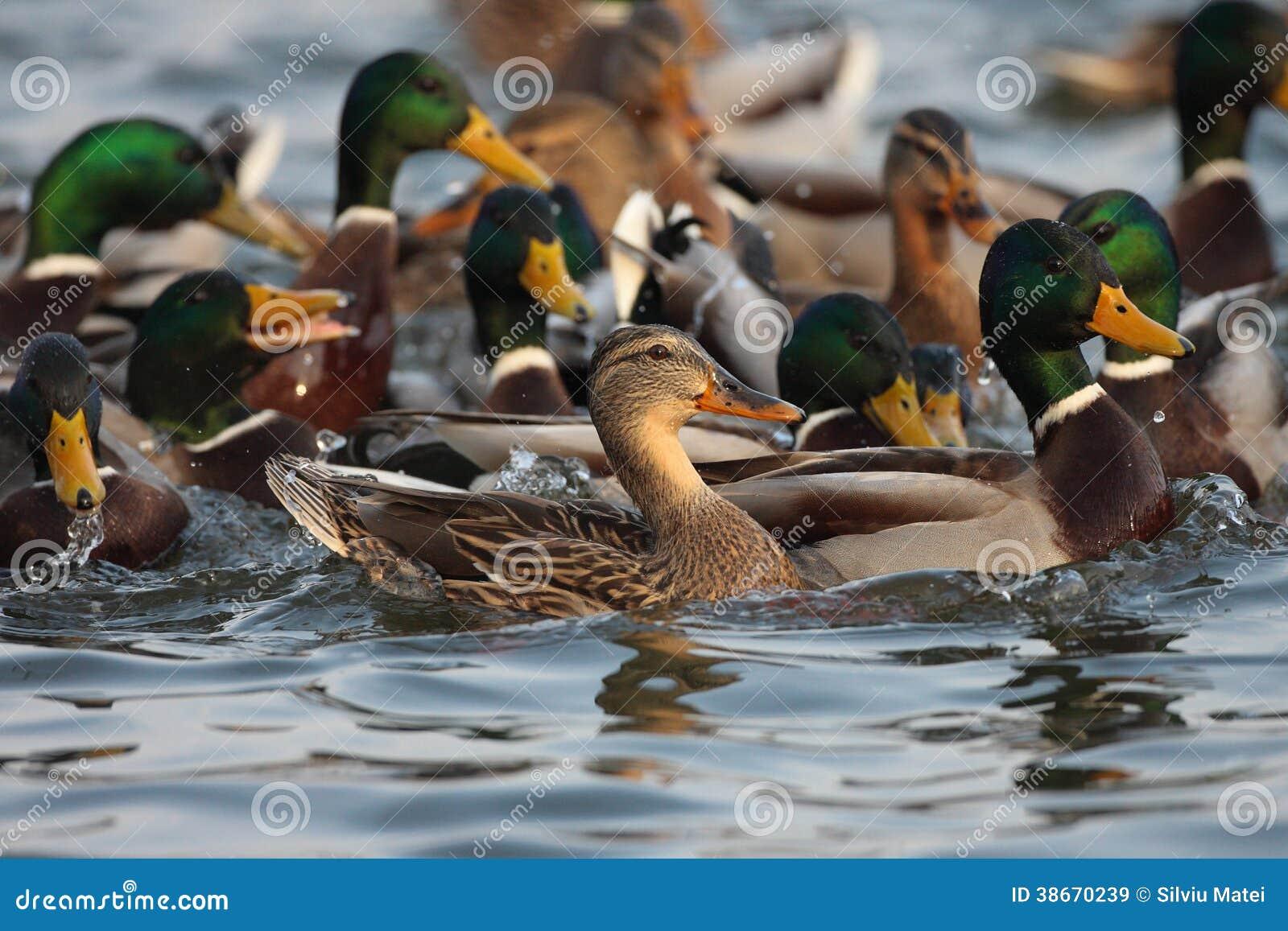 Утка кряквы, мужчина и женское заплывание на пруде.