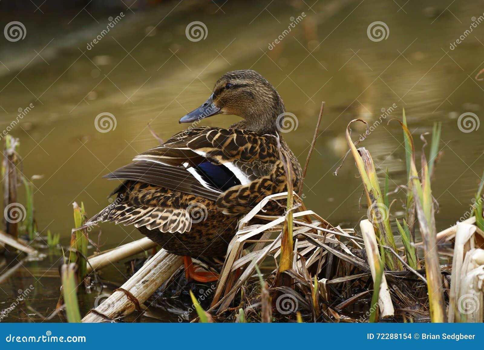 Download Утка кряквы подавая в тёмной речной воде Стоковое Фото - изображение насчитывающей барбекю, ananias: 72288154
