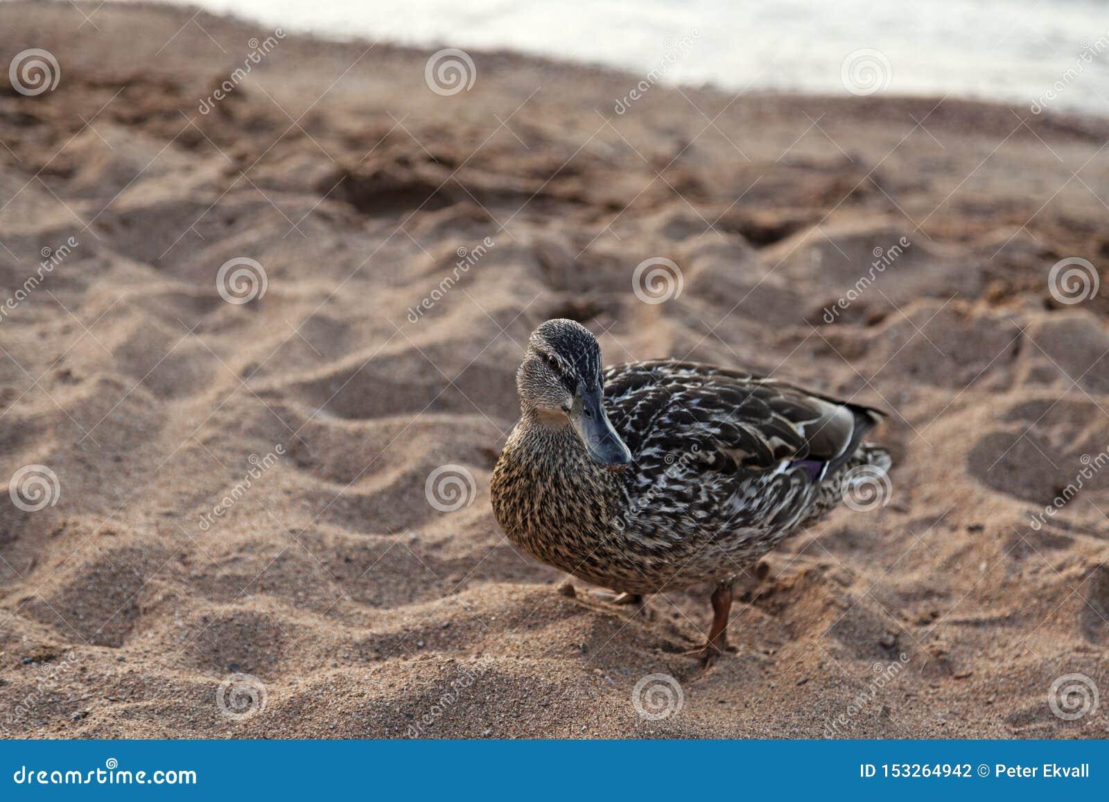Утка на песчаном пляже
