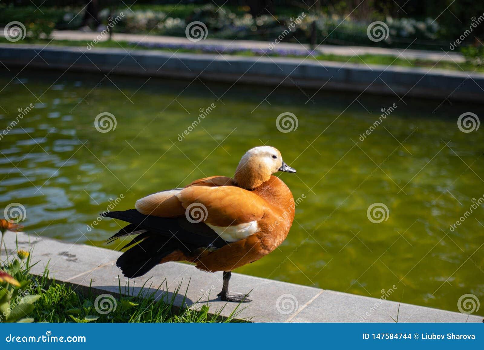 Утка необыкновенного красивого цвета красная на пруде в парке греясь весной солнце