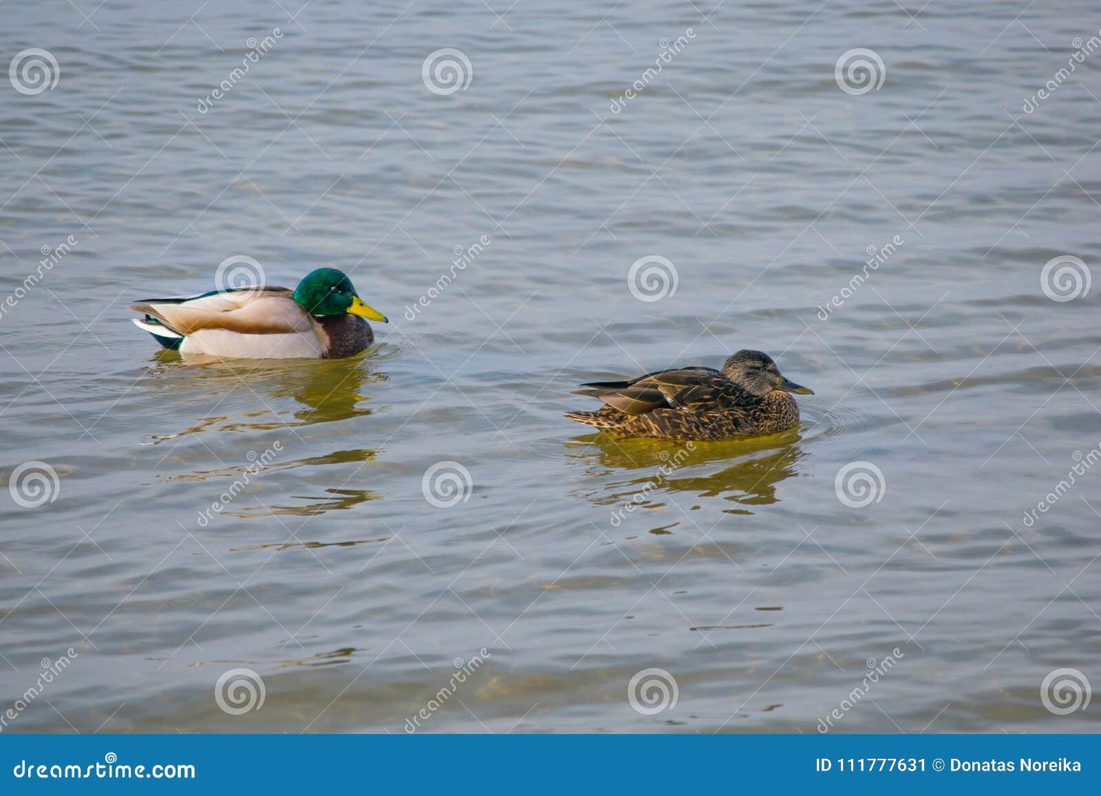 2 утки в воде