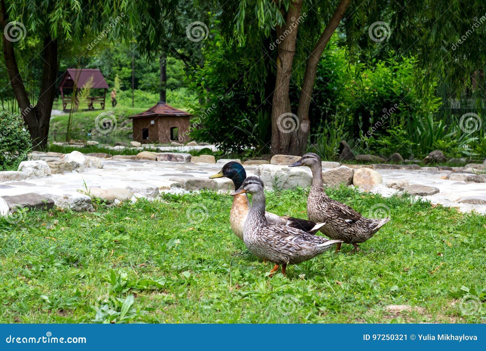 Утки в пруде