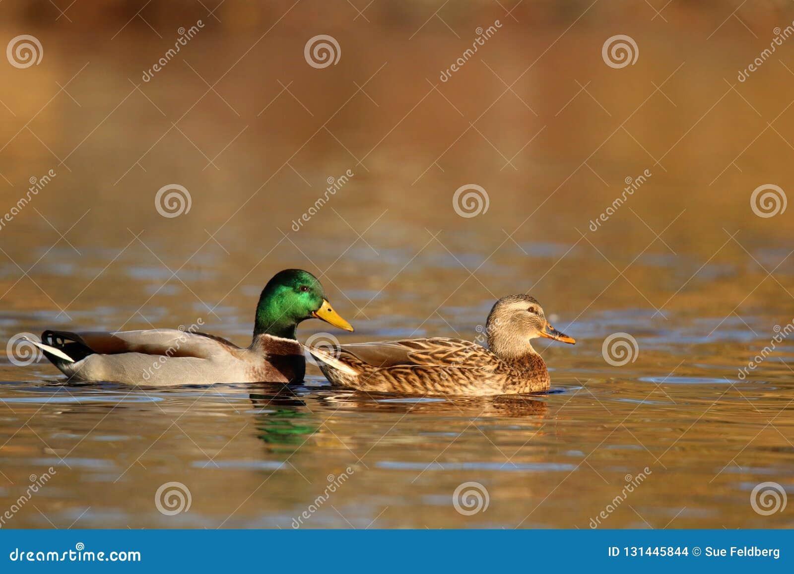 Утки кряквы плавая в падении на сумрак