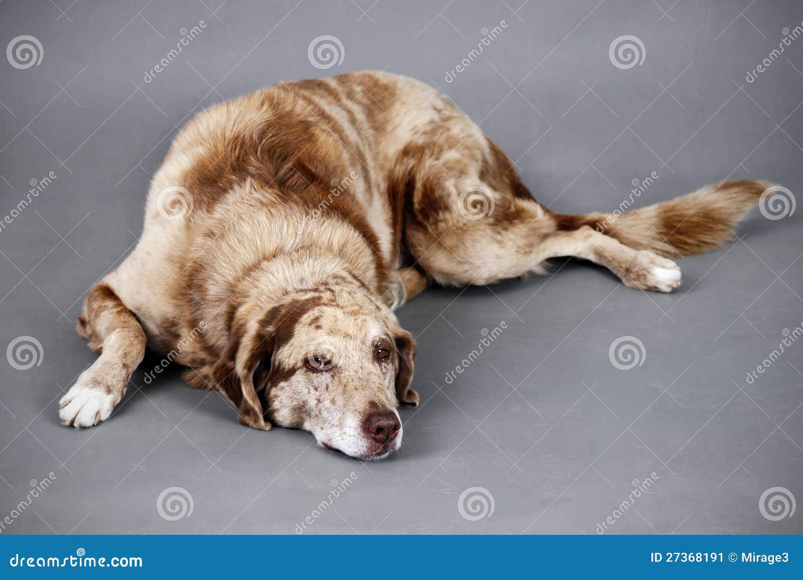 Утомленная смешная смотря собака