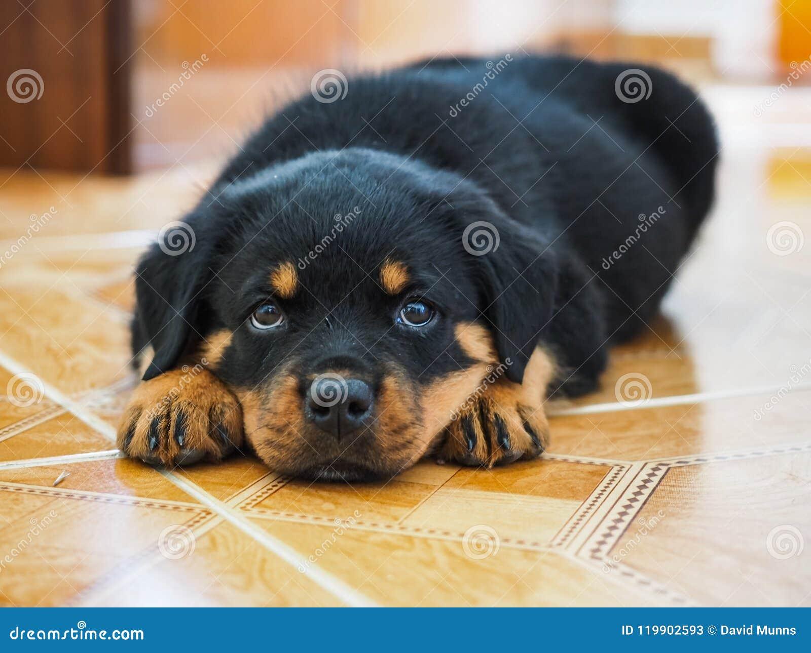 Утомленный щенок Rottweiler