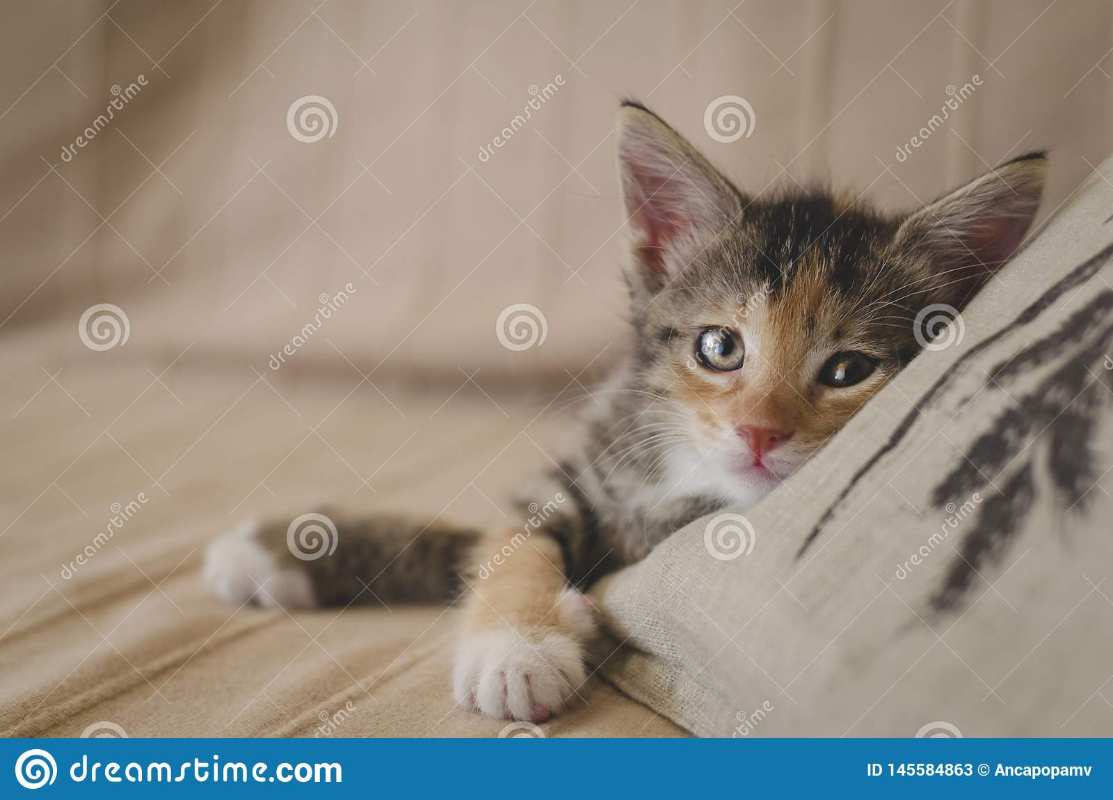 Утомлянный спасл котенка ситца 6 недель с яркими глазами смотря камеру и отдыхая на софе