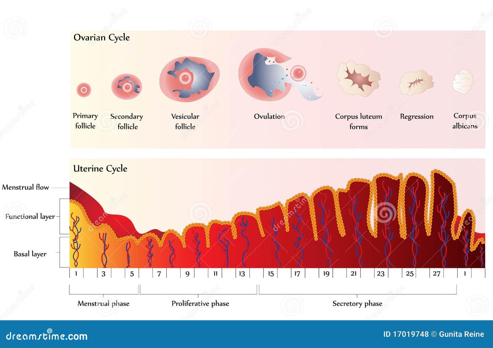 утробное цикла овариальное