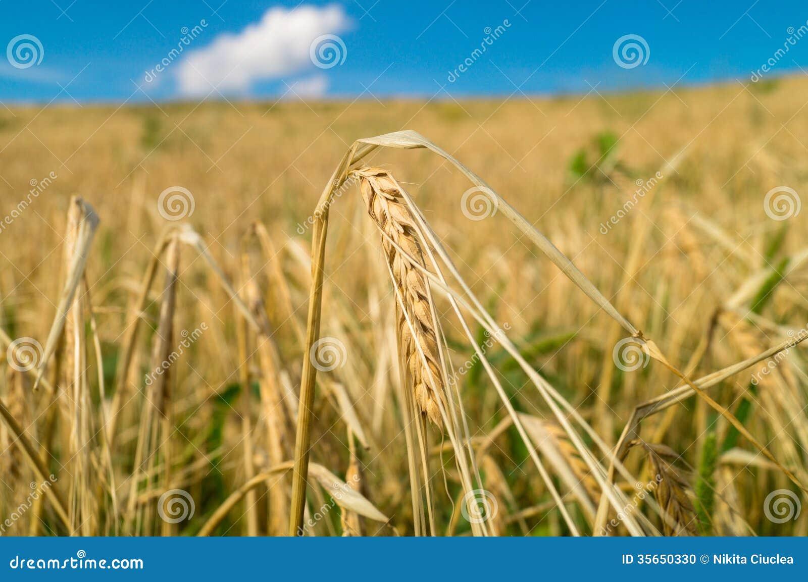 Ухо пшеницы в поле