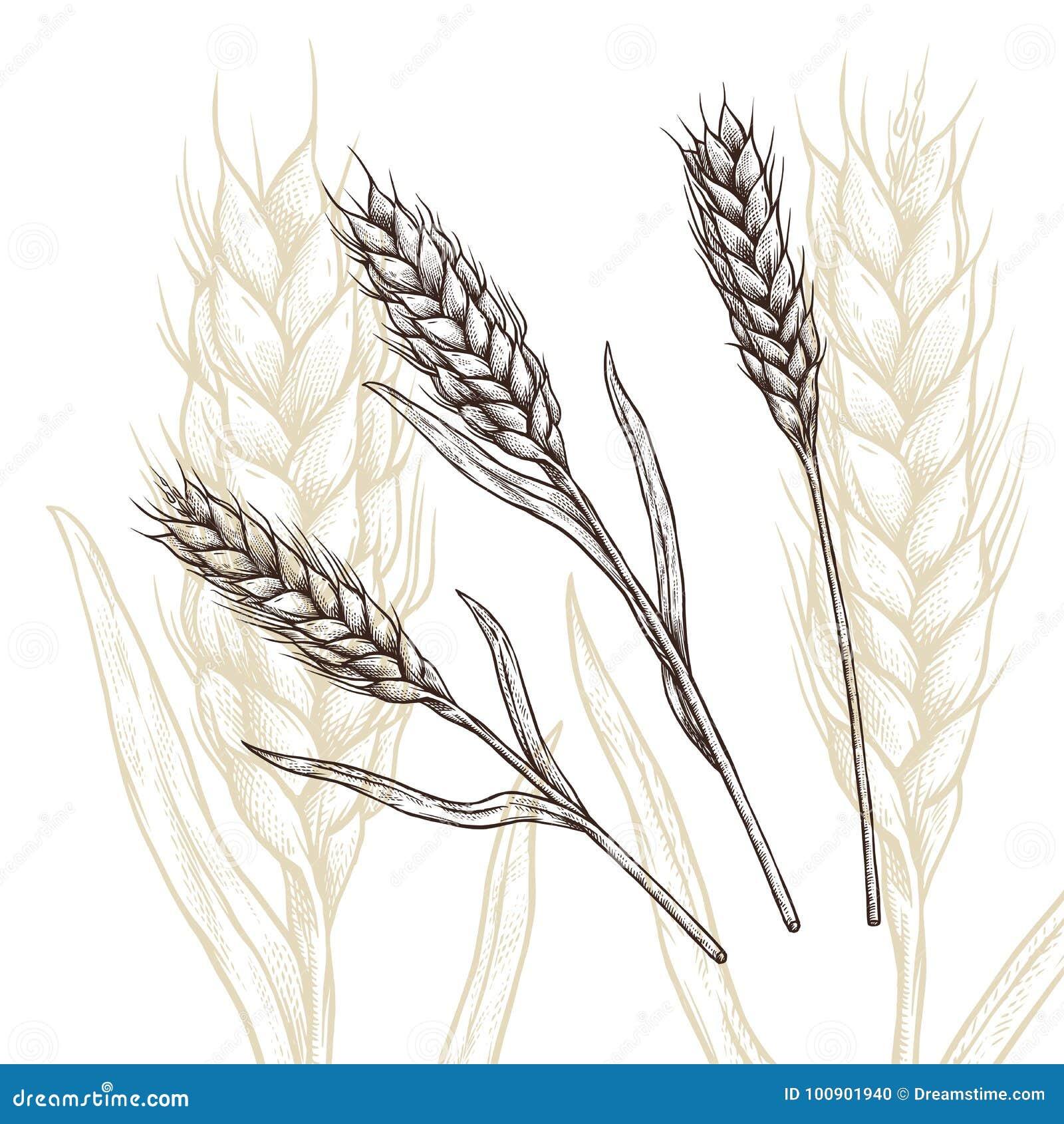 Ухо пшеницы