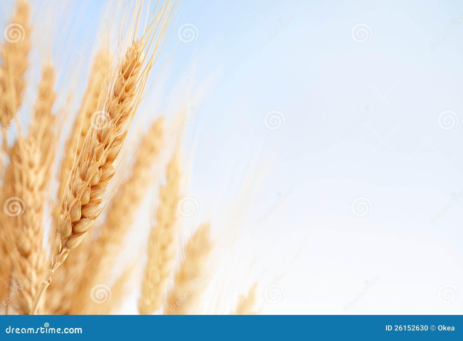 Уши пшеницы в ферме
