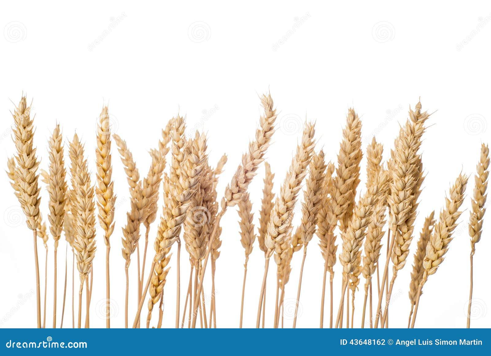 Уши пшеницы изолированные на белой предпосылке
