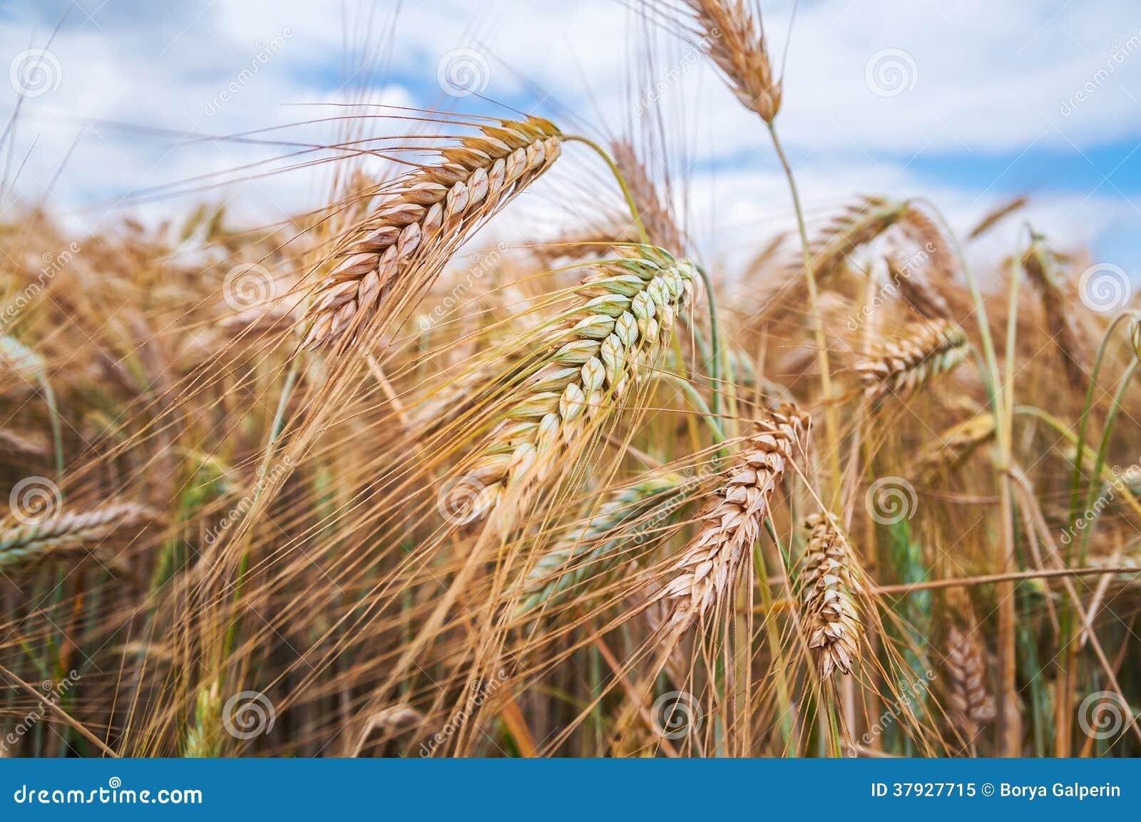 Уши пшеницы